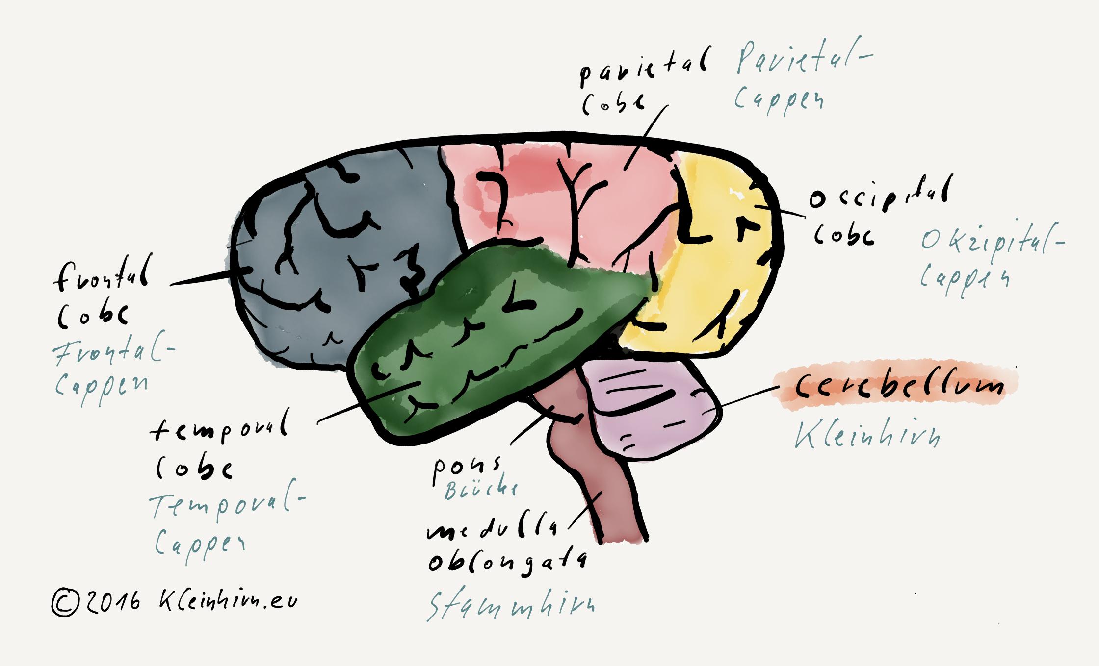 Cerebellum - Das Kleinhirn